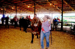 File photo Youth showed their beef cattle at the McDonald County Fair in 2016.
