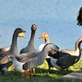 <b>Grub for the gaggle</b>
