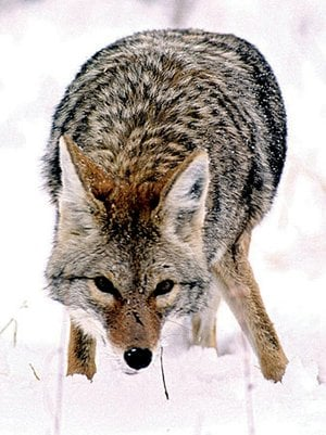 Coyotes are common in all 75 counties in Arkansas. Hunting them has become increasingly popular.