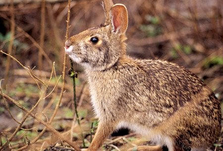 the-swamp-rabbit-is-the-largest-member-of-the-cottontail-family-sometimes-weighing-more-than-10-pounds