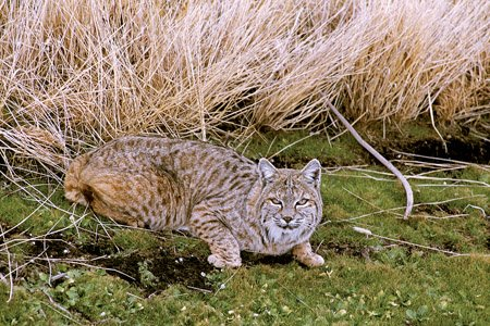 a-bobcat-crouches-in-the-grass-rabbits-are-the-bobcats-main-food-item-in-arkansas-year-round-but-bobcats-also-eat-squirrels-rats-mice-chipmunks-and-occasionally-opossums-raccoons-skunks-birds-and-snakes