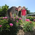 Henry and Karen Chotkowski cut peonies Wednesday in preparation for their annual Mother's Day Peony ...