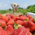 Dennis McGarrah, owner of McGarrah Farms near Pea Ridge, picks strawberries Wednesday at his farm. T...
