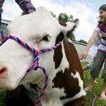 Fourth-grader Lainey Evans, 10, pets Mickey, a show heifer owned by Faith Bomstad of Timbercrest Far...