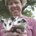Baby opossums rest in the hands of wildlife rehabilitator Lynn Sciumbato. She's been treating injure...