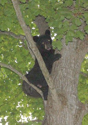 Leland Bray of Garfield found this black bear treed by his squirrelhunting dogs in June.