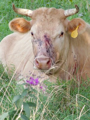A Charolais-Limousine cross cow rested in the field after being treated at the Pea Ridge Veterinary Clinic for a gun shot to the forehead and neck. The cow was one of three shot early Sunday morning. Two survived, but the bullets were not able to be removed.