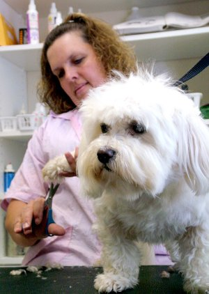 Penny, Shirley McCann's Maltese, stands patiently while McCann trims the hair on her feet at Pampered Paws grooming shop in Pea Ridge.