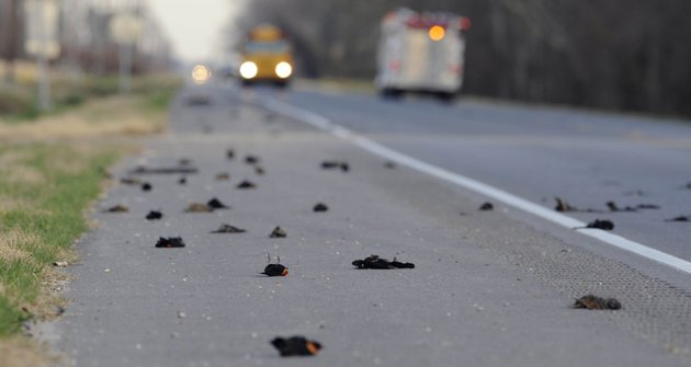 dead-birds-are-seen-along-the-side-of-the-morganza-hwy-in-pointe-coupee-parish-la-on-monday-jan-3-2011-about-300-miles-south-of-beebe-where-more-than-3000-blackbirds-fell-from-the-sky-three-days-earlier