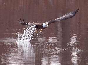 A bald eagle swoops down in an attempt to catch a fish in SWEPCO Lake on Dec. 27. The lake is an excellent location to view numbers of the national bird.