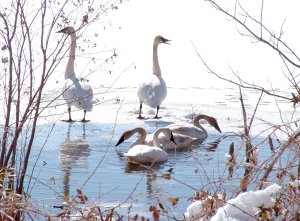 Trumpeter swans fed in the shallows of Siloam Springs City Lake on Saturday. The birds are rare in Arkansas and protected by federal and state wildlife laws. At one time, they were almost extinct in the United States and have been gradually reintroduced to their native habitat.