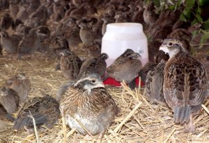 More than 1,500 five-week-old quail fill the flight pen on Holt's farm. The quail are feathered and can fly quite well but will not be fully mature until they are 12 weeks old.