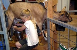 Destiny Tate, of Gravette, milked her goat at the Benton County Fair last month.