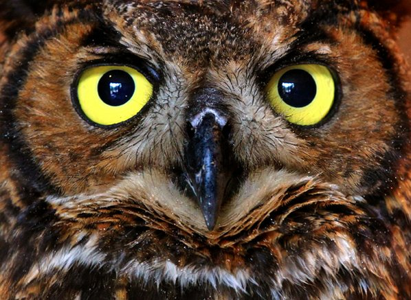 The great horned owl is ...