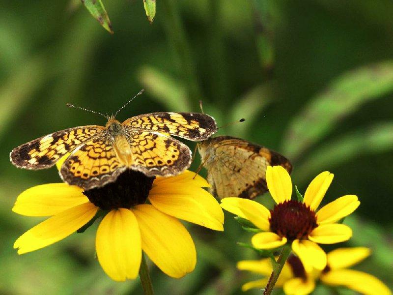 Butterfly habitat brings abundance of beauty to yard