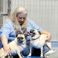 Reta Parton, president of Pug Rescue of Northwest Arkansas, plays with Beth and Liza, two pugs in he...