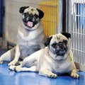 A pair of pugs, Beth and Liza, are part of the Pug Rescue of Northwest Arkansas program. They're see...
