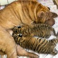 In this picture taken, Monday, June 4, 2012, Shar Pei dog Cleopatra feeds two baby tigers in the Bla...
