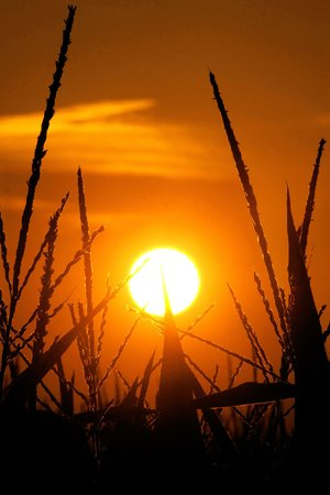 The sun rises Sunday over a corn field in Pleasant Plains, Ill. Corn stalks are struggling in the heat and continuing drought that has overcome most of the country.