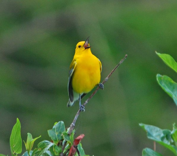 Stanfill photographed this prothonotory warbler along the trail.