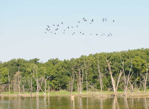 Canada geese fly over Swepco Lake along the trail.
