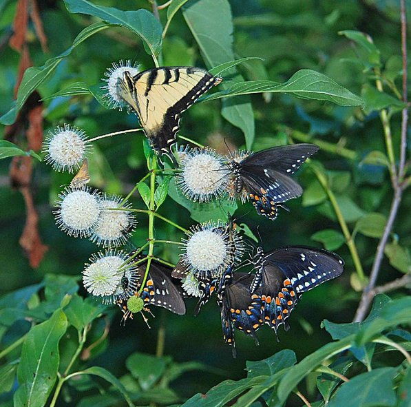 Stanfill photographed these swallowtail butterflies on a button bush at the trail.