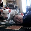 Neo Patrick, 9, plays on the floor Wednesday with Coconut, his therapy pig, at home in Rogers. Desir...