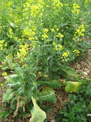 After protecting the soil all winter, a cover crop of turnips can provide pleasant yellow flowers in the spring.