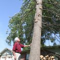Jim Sawyer looks Friday at tree at 1103 W. Olrich St. trimmed back from electric lines at 10th and O...