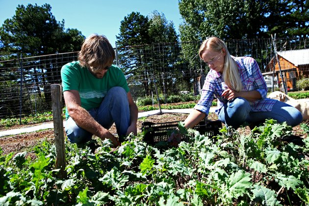 brandon-gordon-and-catherine-morris-pick-kale-at-five-acre-farms-outside-pleasant-plains-the-couple-use-organic-farming-practices-to-grow-vegetables-on-about-three-fourths-of-an-acre-the-produce-is-sold-locally-at-farmers-markets-and-to-individuals