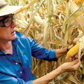 Renee Lafitte, a research fellow at DuPont Pioneer, shows the various corn plots in Woodland, Calif....