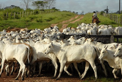 a-cowboy-gathers-nelore-cattle-at-the-zenith-iii-farm-near-alta-floresta-brazil-on-march-16-2007
