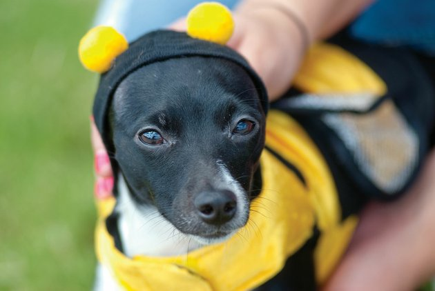 marley-a-rat-terrier-and-chihuahua-mix-is-being-dressed-in-a-bumblebee-costume-by-her-owner-laura-raney-of-conway