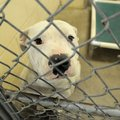 A dog waits to be adopted Friday at the Springdale Animal Shelter. The department plans to remodel t...