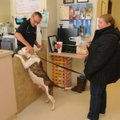 Bud Norman, shelter manager, pets a pit bull on Thursday handled by Evelyn Collins, a volunteer. Abo...