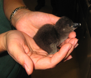The Little Rock Zoo's new penguin chick is seen in this photo released by the zoo.