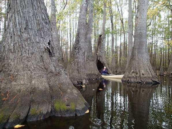 Debbie Doss of Conway paddles on Nov. 9 among tupelo and cypress trees of the Bayou De View swamp in east-central Arkansas.