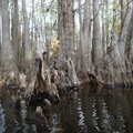 Cypress knees are a mysterious feature in the Bayou De View swamp.