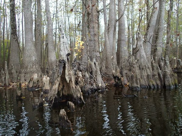 Cypress knees are a mysterious ...