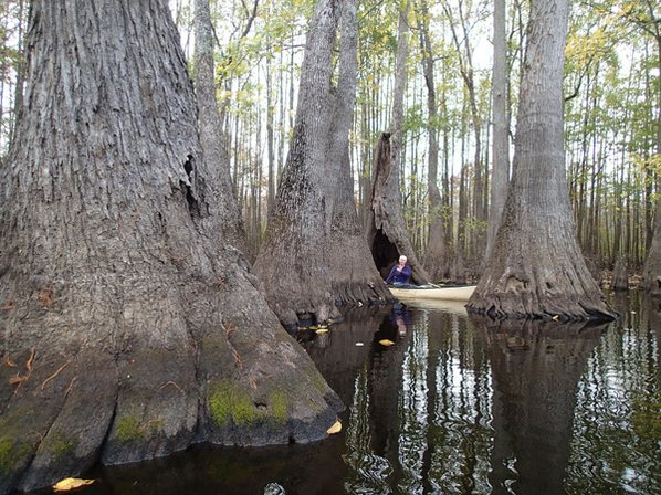 Bayou majesty nwadg debbie doss of conway explores the wonders of a swamp while paddling on bayou de view one of the routes in the arkansas water trails system freerunsca Gallery