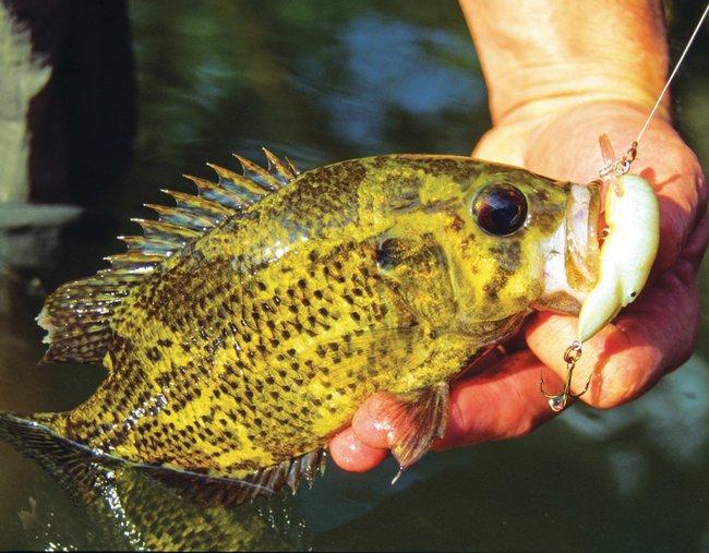 Fishing for autumn rock bass for Rock bass fish