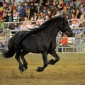 Frederik the Great, a Friesian stallion, takes center stage during the presentation of The Black Sta...