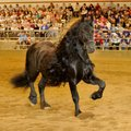 "Frederik The Great, a Friesian stallion, takes center stage Thursday during the presentation of ""The..."