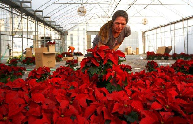 eulanda-brown-picks-through-poinsettias-thursday-in-a-park-brothers-farm-greenhouse-in-van-buren-brown-works-for-taylor-nursery-in-russellville-a-wholesale-customer-of-the-farm