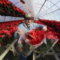 Adam Robertson gathers up wrapped poinsettias while fulfilling an order Tuesday for delivery to a Ro...