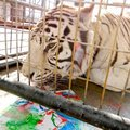 Zeus, a white tiger, licks at edible paint on a piece of art sold during an online auction to benefi...