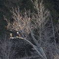 A pair of eagles roost on Friday along the Beaver Lake shoreline on Shaddox Island near Rocky Branch...