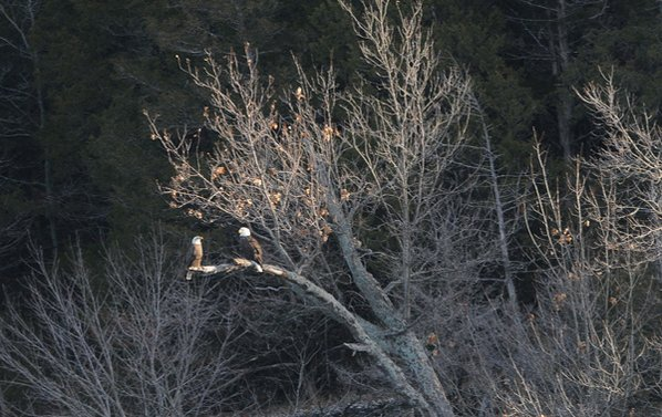 A pair of eagles roost ...
