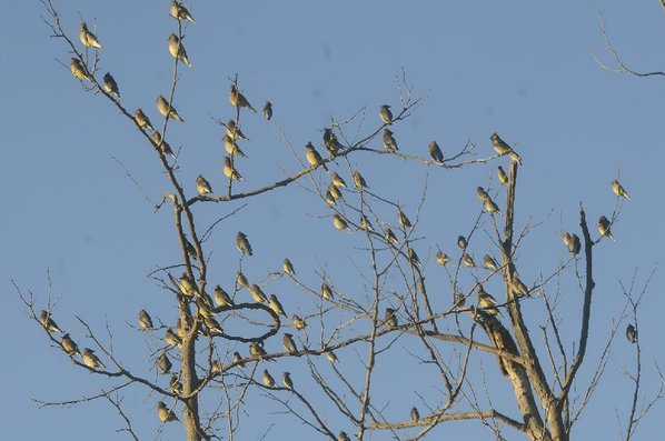 Cedar waxwings roost on branches ...