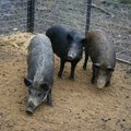 The feral hog population has increased throughout the state since Arkansas Game and Fish Commission ...